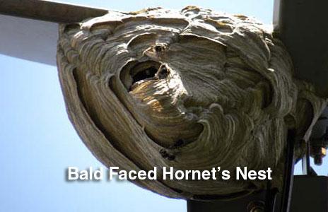 13-bald_faced_hornets_nets.jpg
