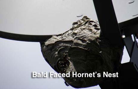 14-baled_faced_hornets_nest-2.jpg