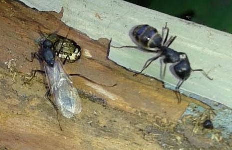 15.5-carpenter_ants.jpg