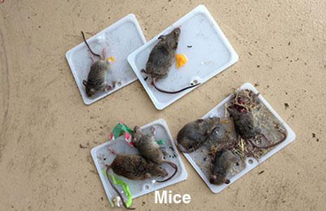 5-mice.jpg