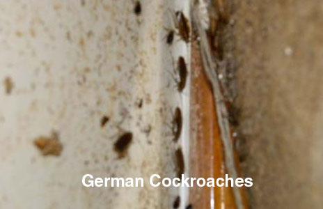 9-german_cockroaches-2.jpg